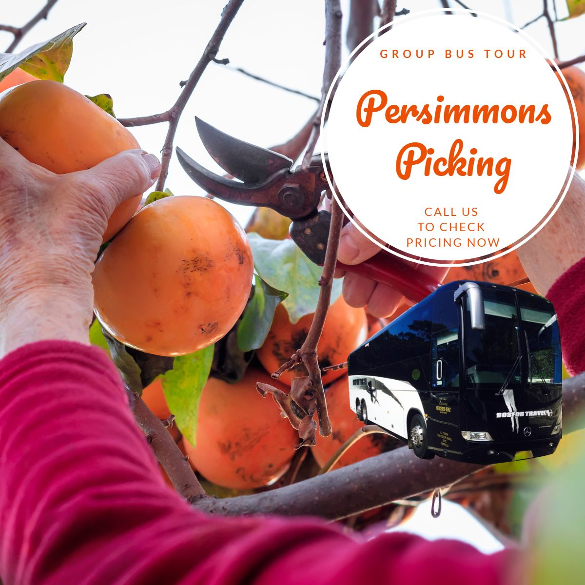Persimmons Picking in April