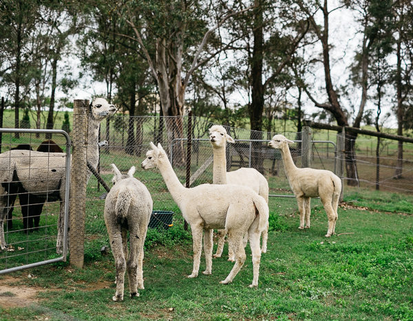 Alpacas at Tanglin Lodge, Tennyson